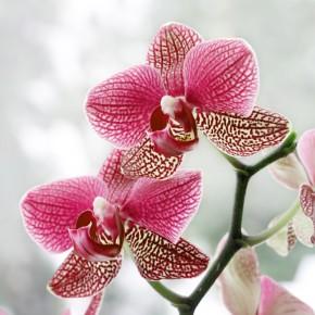 Fototapeta orchidea do salonu