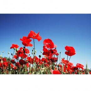 AS_Kwiaty polne