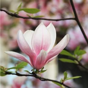 AS_Magnolia