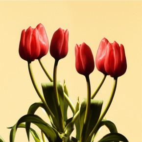 AS_Tulipanowy łan