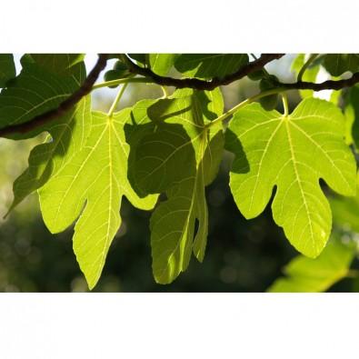 Fototapeta duże liście