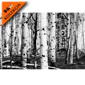 Fototapeta brzozy czarno-białe