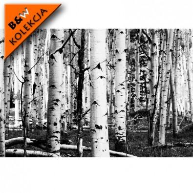 Fototapeta brzozy czarno białe