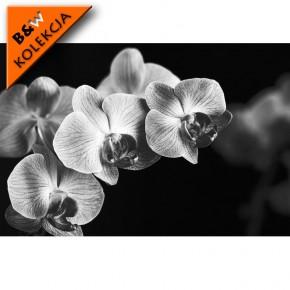 czarna Falenopsis