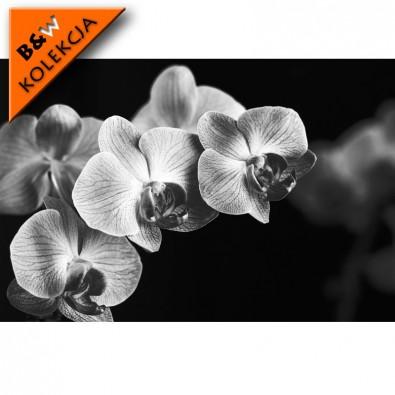 Fototapeta czarna Falenopsis