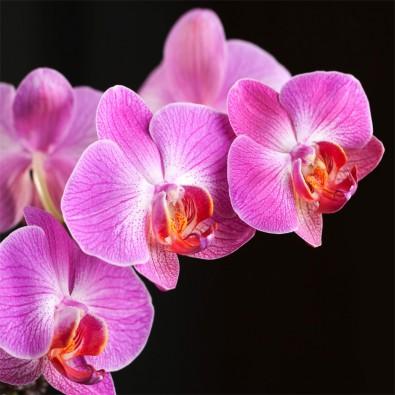 Fototapeta fioletowa orchidea