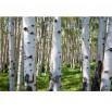 Fototapeta las brzozowy