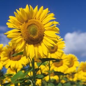 Fototapeta złote słoneczniki