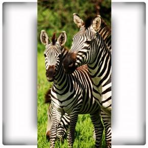Fototapeta zebra na wąską ścianę