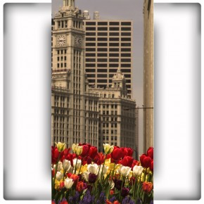 rabatka tulipanów