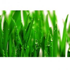 Fototapeta trawa z rosą