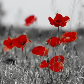 Fototapeta łąka czerwonych maków