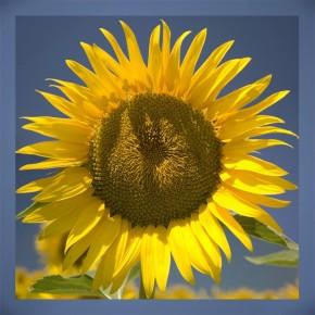 Słonecznikowy