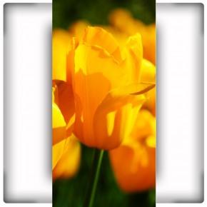 Tulipany na wąską ścinę