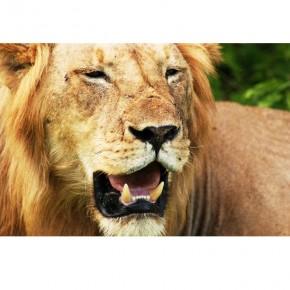 Fototapeta z lwem