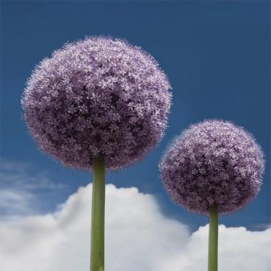 Czosnek | Fototapeta kwiaty