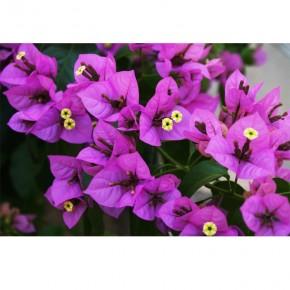 AS_Kwiatki