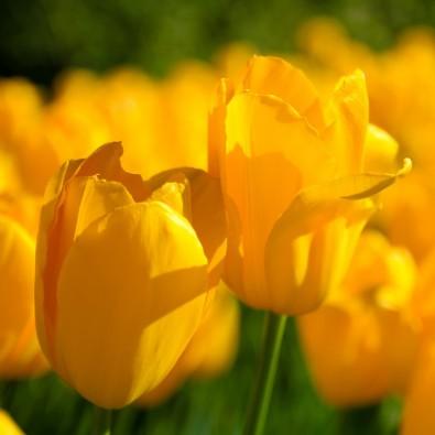 Fototapeta żółte tulipany