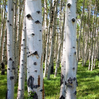 Fototapeta na brzozowej polanie
