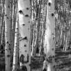 Fototapeta na brzozowej polanie - czarno biała