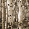Fototapeta na brzozowej polanie w kolorze sepii