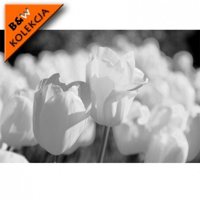 Fototapeta tulipanki