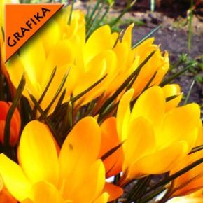 Krokusy graficznie | Fototapeta kwiaty