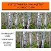Fototapeta laminowana z brzozami