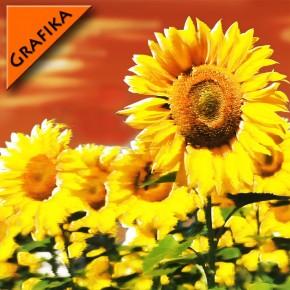 Słoneczniki grafika | Fototapeta
