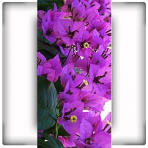 fioletowe dzwoneczki