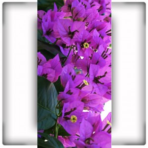 Fototapeta fioletowe dzwoneczki