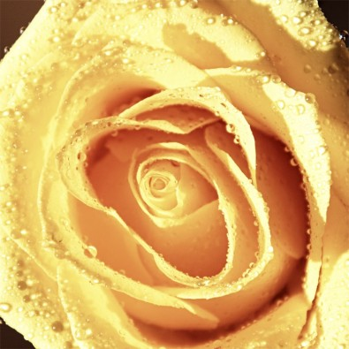 Fototapeta herbaciana róża