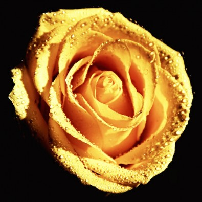 Fototapeta róża kremowa