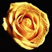 Fototapeta kremowa róża