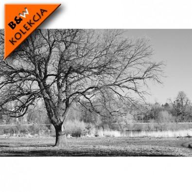 Fototapeta drzewo - czarno biała