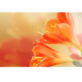 pomarańczowy liliowiec