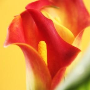 Fototapeta żółto czerwony kwiatostan