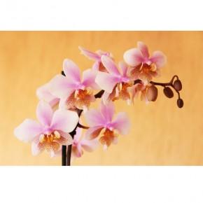 łososiowa orchidea