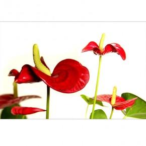 Fototapeta kwiaty Anturium