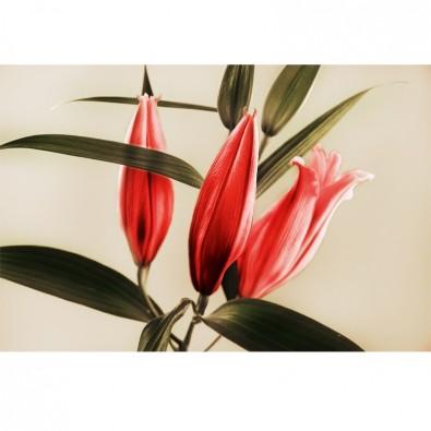 Fototapeta czerwone kwiaty lilii