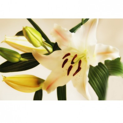 Fototapeta romantyczna lilija