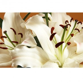 Fototapeta aksamitna natura liliowca
