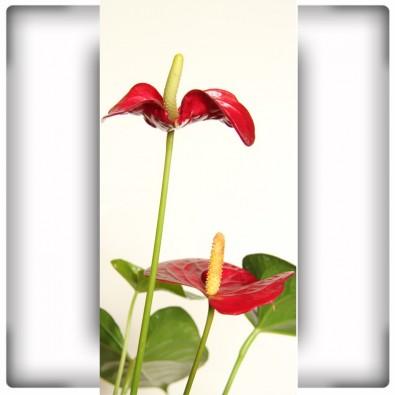 Fototapeta czerwone Anturium