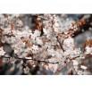 Fototapeta białe kwiaty jabłoni