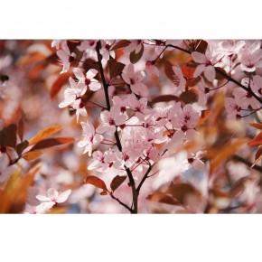 różowa wiśnia