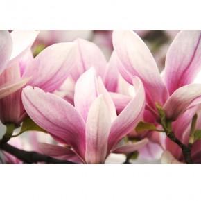 Fototapeta magnolie wiosenne