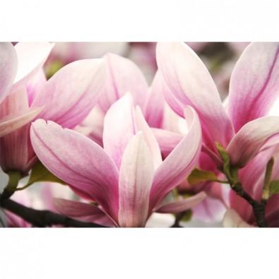 Fototapeta wiosna magnoliowca