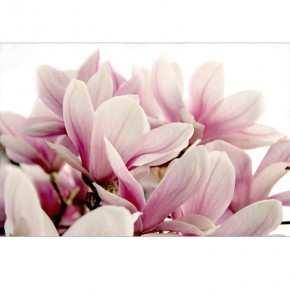 Fototapeta magnoliowa etiuda
