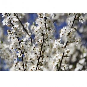 białe kwiatuszki jabłoni