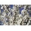 Fototapeta białe kwiatuszki jabłoni